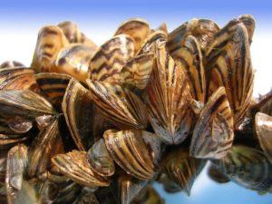 zebra mussels invasive species