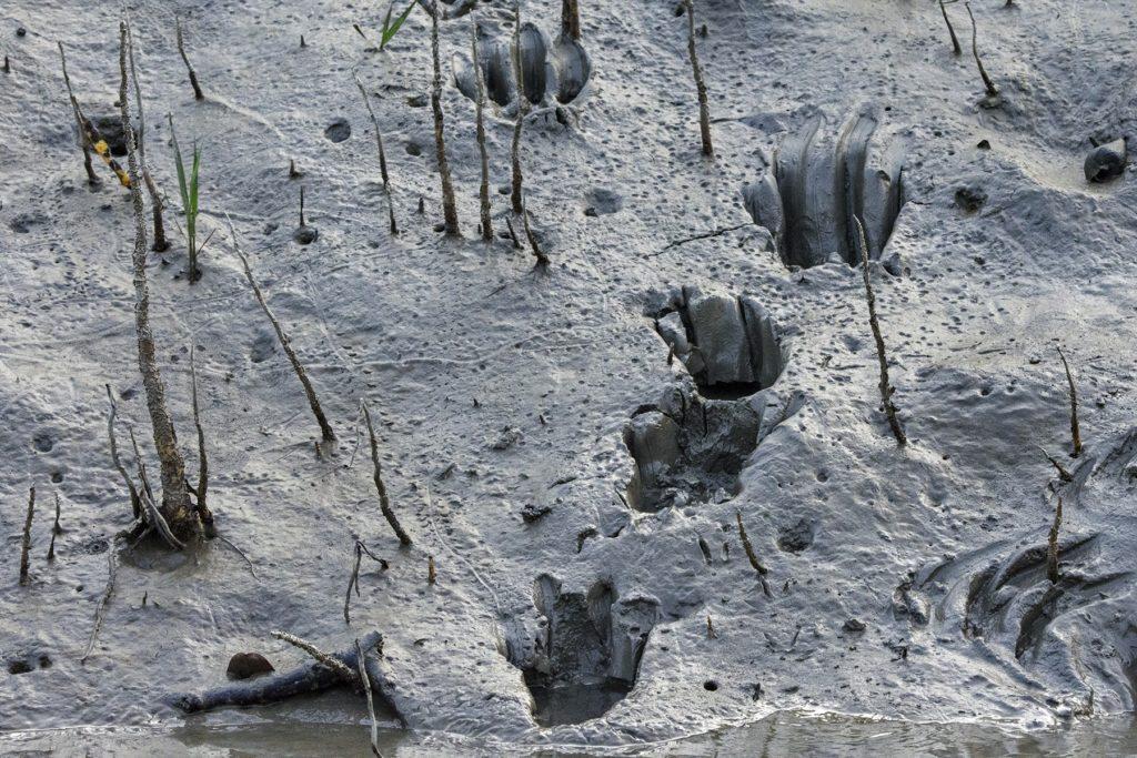 Des traces de tigre frais le long d'un canal étroit dans les Sundarbans