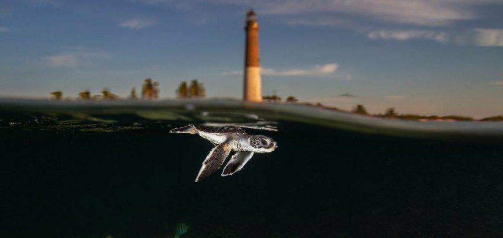 Un bébé tortue nage.
