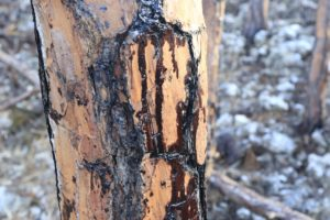 Oil on trees one mile from Equinor/STATOIL spill on Grand Bahama.