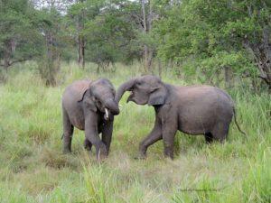 Elephants by Sri Lanka Wildlife Conservation Society
