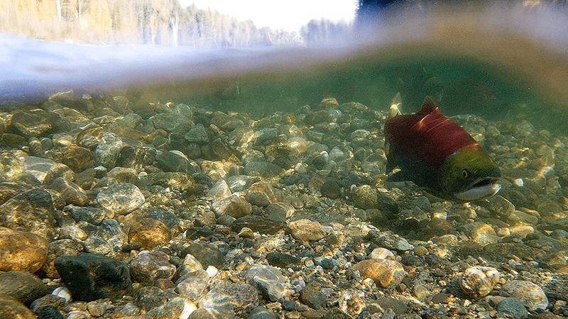 Fraser Riverkeeper_SockeyeSalmon