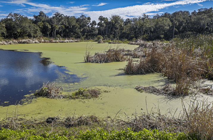 Restored wetlands in Terra Ceia Bay continue to be plagued by algae blooms from excessive nutrient runoff.