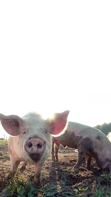 cerdo mirando de frente