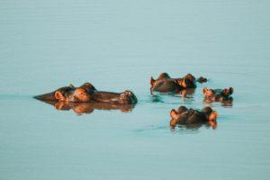 |Hippopotamus