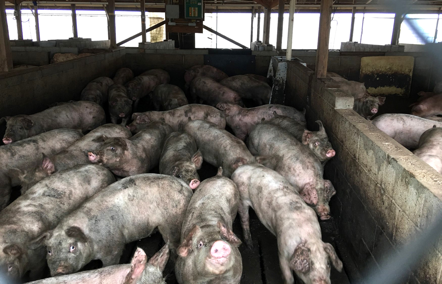 Hogs in a CAFO by the Federal District Court for Eastern NC.