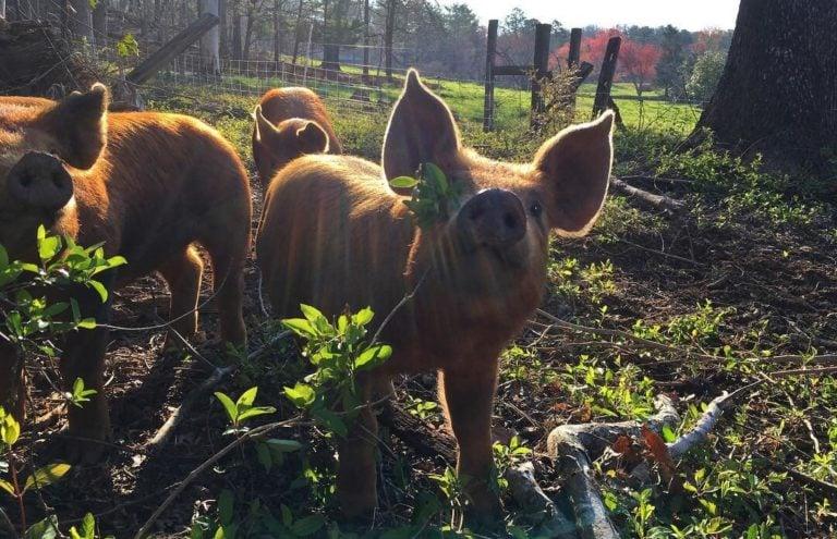 Un porc dans une ferme regarde la caméra, avec deux autres porcs derrière.