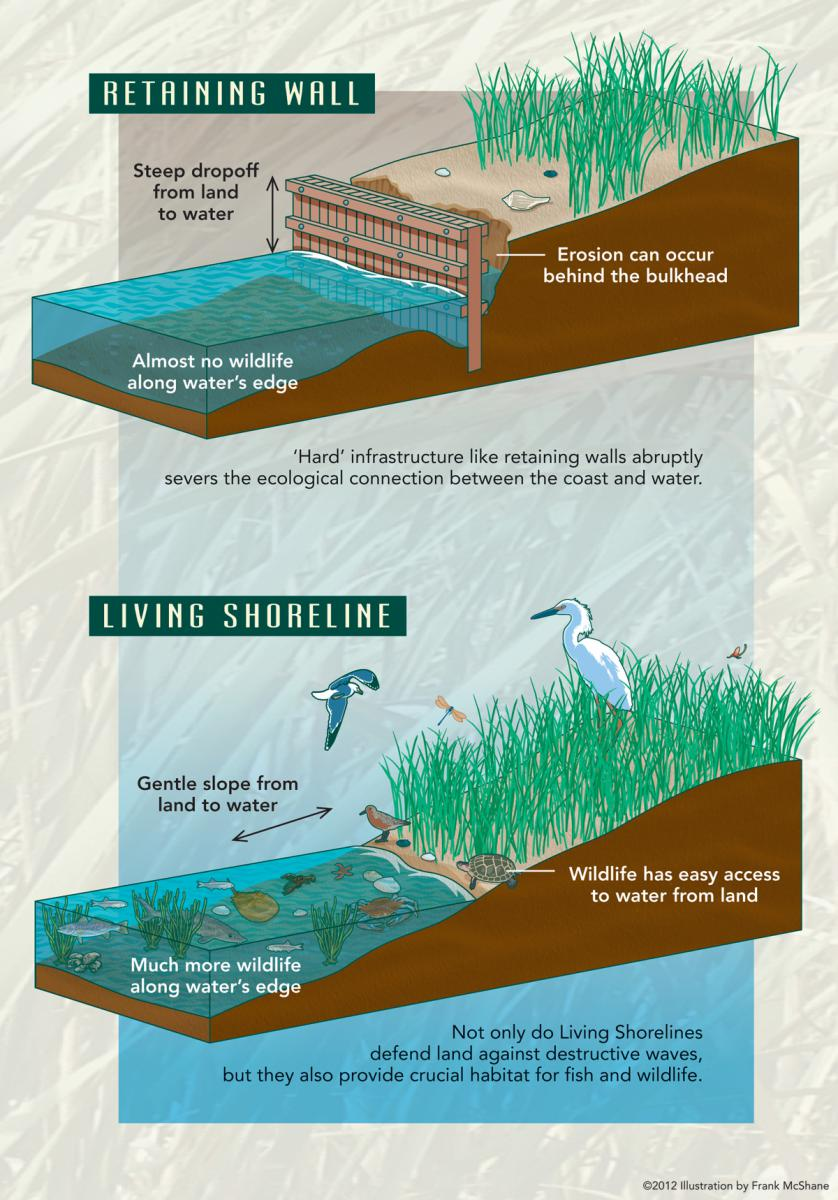 A graphic of a retaining wall versus a living shoreline.
