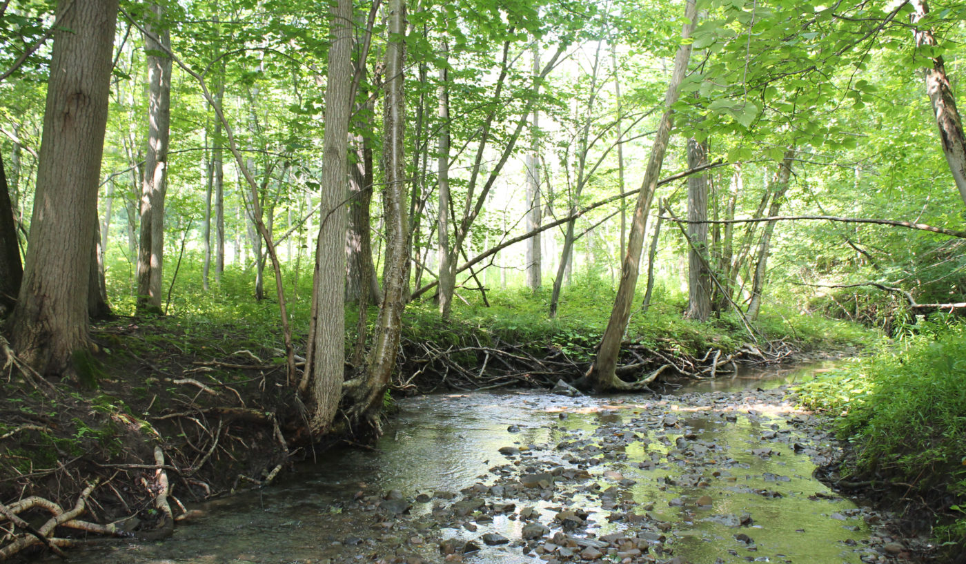 A small river, the headwaters or source waters to many downstream waterways, with many rocks peeking out of the water. The river bank is full of roots from large trees that have green leaves showered with sunlight.