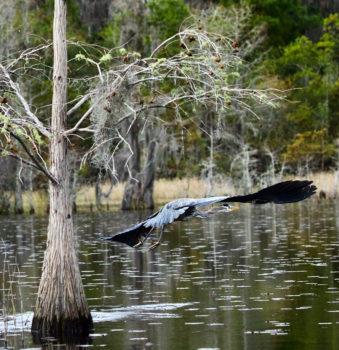 蓝翅苍鹭在Okefenokee沼泽上空飞行。