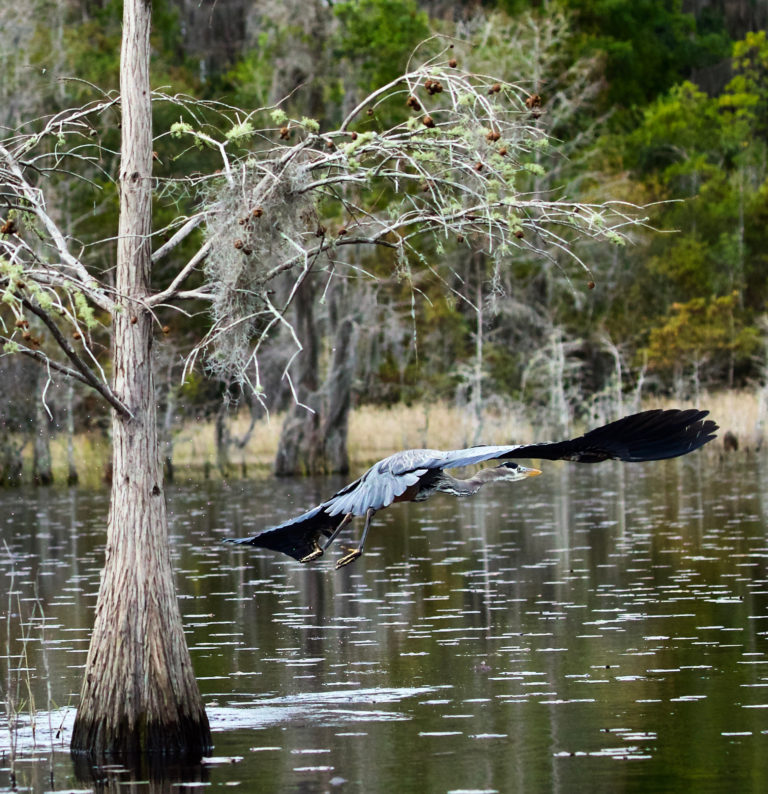 A blue heron mid-flight over the Okefenokee Swamp.